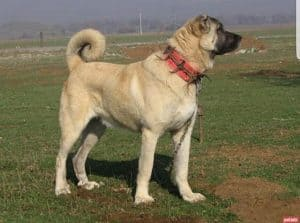 Kangal Best dog for chickens