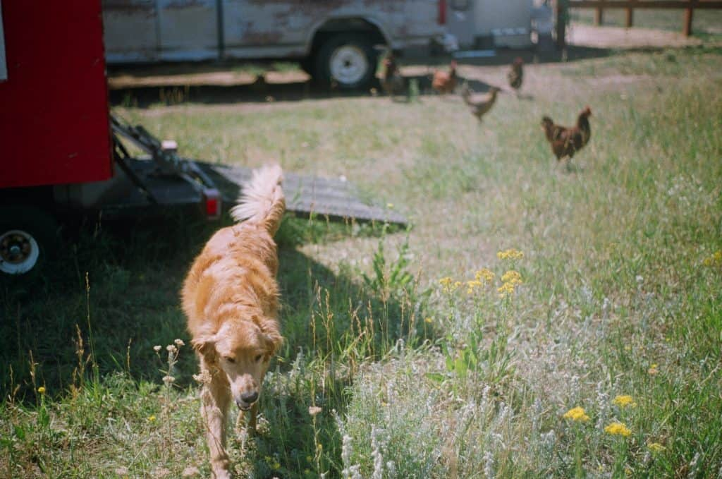 Best dogs for chickens